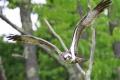 Osprey 005