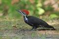 Woodpecker 002