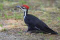 Woodpecker 007