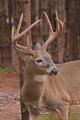 Buck 008
