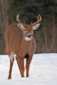 Buck 011