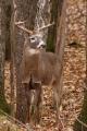 Buck 014