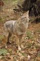Coyote 003