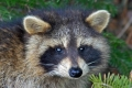 Raccoon 001